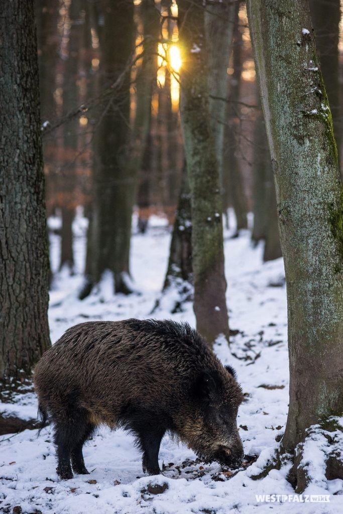 Wildschwein im Wildpark Kaiserslautern.