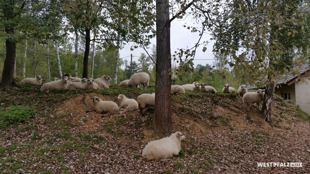 Schafe im Gebiet