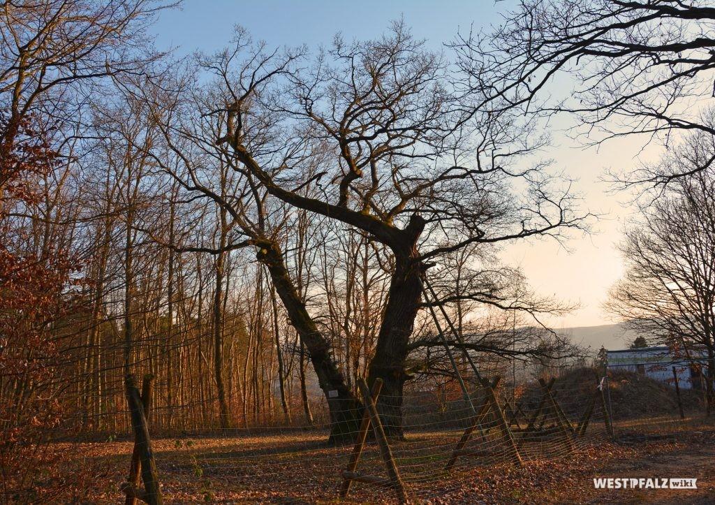Die unter Naturschutz stehende, zweistämmige Helincheneiche in Steinborn (Eisenberg/Pfalz)
