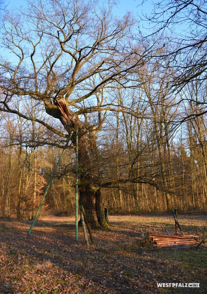 Westansicht der Helincheneiche in Steinborn (Eisenberg/Pfalz). Auf Grund des hohen Alters wird einer der beiden Stämme der Eiche durch Metallstangen gestützt
