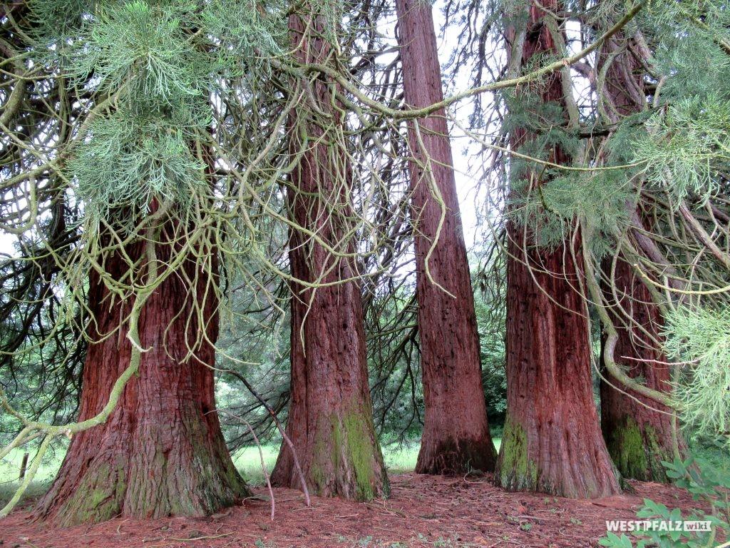 Mammutbaumgruppe bei Landstuhl
