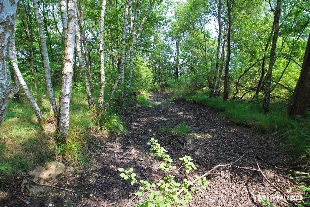 Landschaft der Westricher Moorniederung mit Birken. Mittig ein tockener Weiher