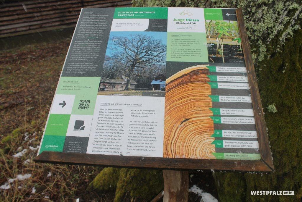 """Naturdenkmal """"Stieleiche am Antonihof"""""""
