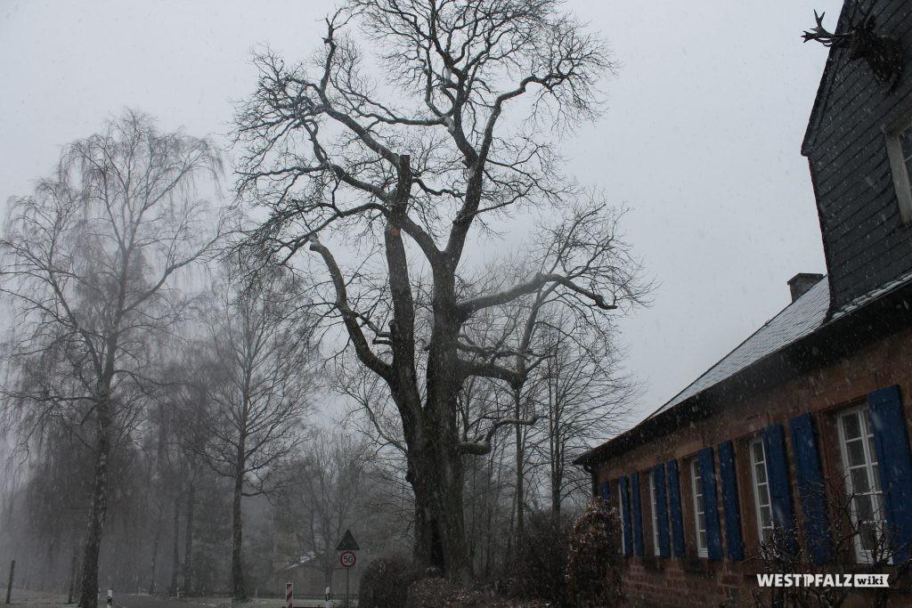 """Naturdenkmal Kastanienbaum beim """"alten Forsthaus"""""""