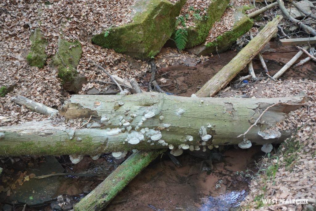 Baumpilze an einem Totholzstamm in der Elendsklamm